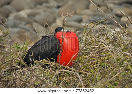 Frigatebird in Galapagos Islands