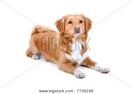 mixed breed dog (half tollinger retriever)