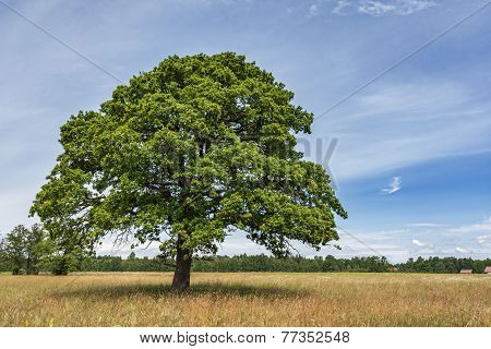 Lonely Oak Tree