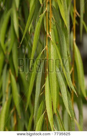 Bright Green Willow Leaves