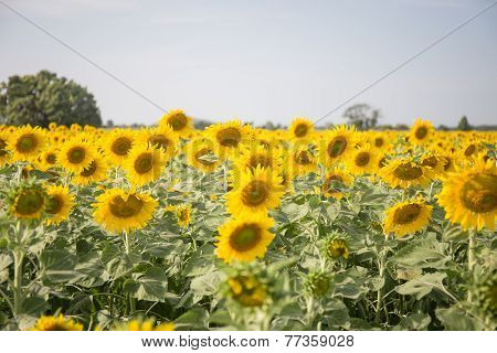 Sweet Sunflower In Field