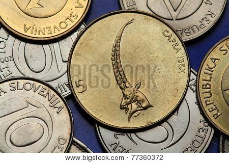 Coins of Slovenia. Alpine ibex (Capra ibex) depicted on the Slovenian five tolar coin.