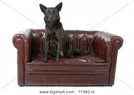 black australian kelpie dog