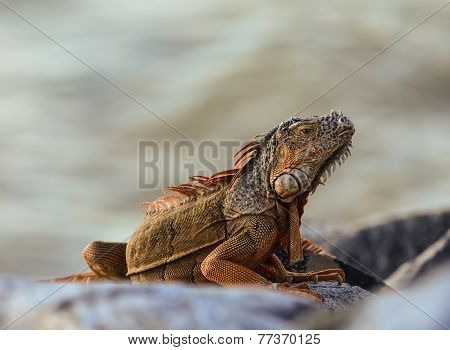 Large Iguana (iguana Iguana) On Rocks