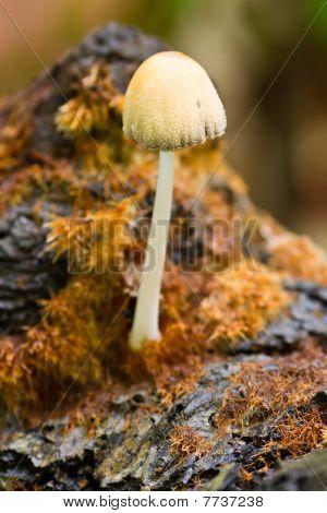 Common Ink Cap Mushroom