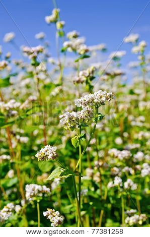 Buckwheat blossoms with blue sky
