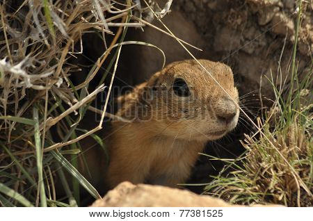 Gopher Looking Out Of The Burrow. Danger To Life. Central Turkey
