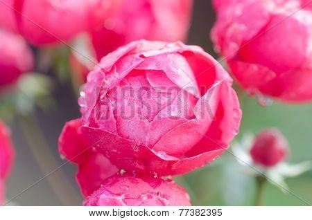 Floribundas Rose