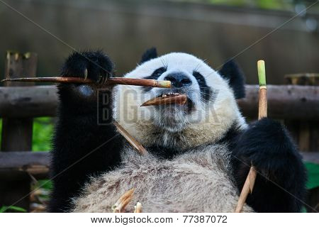 one giant Panda bear eating bamboo roots in Chengdu Sichuan China