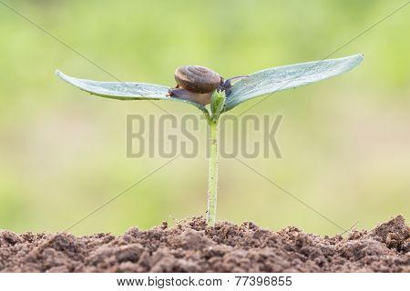 Close Up Snail On Seed Young Plant In Morning