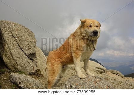 Shepherd dog on the mountain