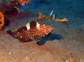 image of grouper  - The surprising underwater world of the Bali basin - JPG