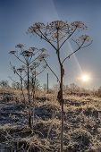 foto of parsnips  - cow parsnip in hoarfrost against the sky with sun - JPG
