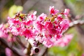 picture of sakura  - Branch with pink sakura blossoms or Sakura pink - JPG