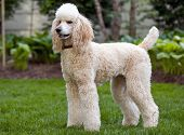 stock photo of standard poodle  - big pretty white standard poodle standing outdoors - JPG