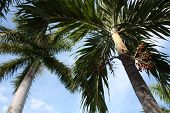 stock photo of monocots  - a picture of palm trees in the sun - JPG
