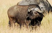 stock photo of cape buffalo  - Cape buffalo  - JPG