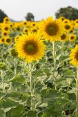 image of sunflower  - sunflower in field - JPG