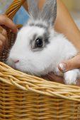 foto of midget  - small white rabbit sitting in basket close up  - JPG