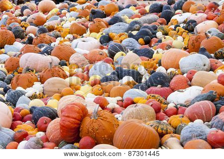 Different Maxima And Pepo Cucurbita Pumpkin Pumpkins From Autumn Harvest