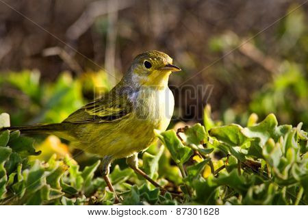 Yellow warbler bird in the Galapagos islands
