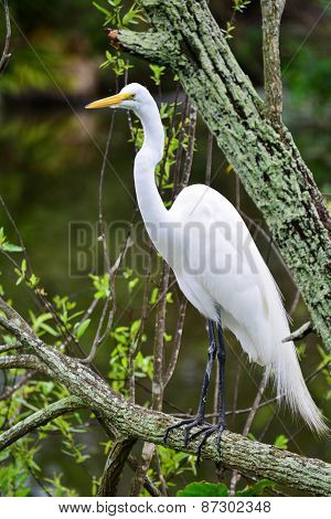 Great Egret, Heron