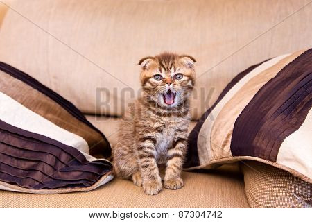 Scottish Kitten With Open Mouth Sitting On A Chair