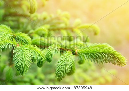Fresh fir branch