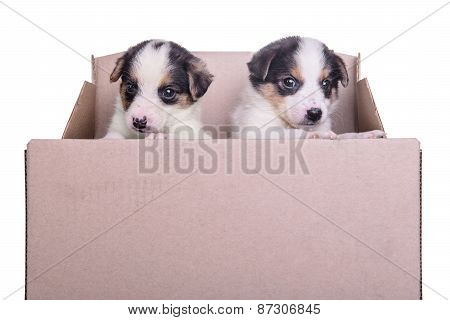 Puppies Mestizo In Box