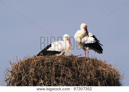 A pair of Storks in the nest