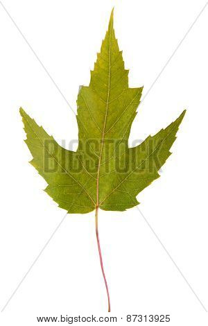 Maple Green Leaf