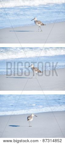 Willet Bird on the Beach in Early Morning Light