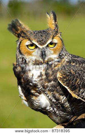 Ggreat Horned Owl