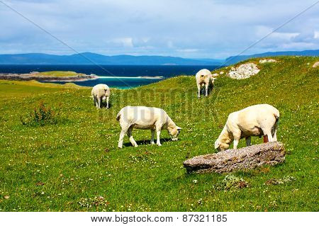 Sheep In The Fields Of Iona In The Inner Hebrides, Scotland Sheep In The Fields Of Iona I