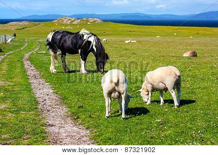 Sheep And Horses In The Fields Of Iona In The Inner Hebrides, Scotland