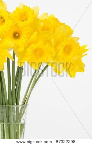 Bright Yellow Spring Daffodils