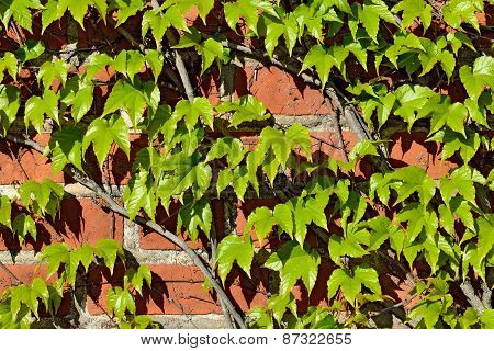 Wild Grapes On Old Brick Wall