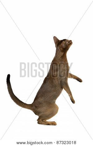 Abyssinian Cat Standing On Its Hind Legs