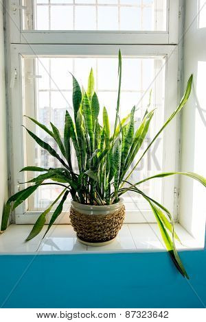 Tropical plant in the pot on a window public place