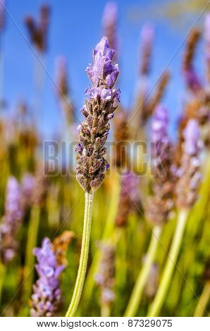 closeup of some lavender flowers in the field