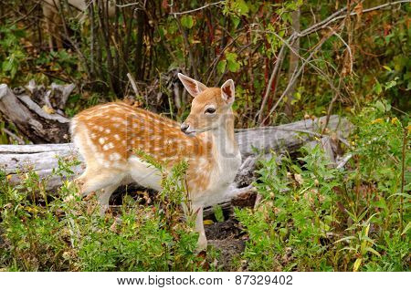 Spotted Whitetail Fawn In Forest