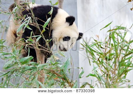 Giant Panda Sitting in the Tree