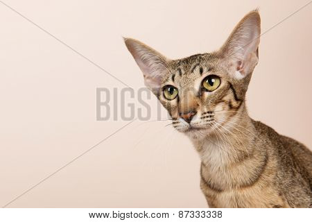 Oriental Shorthair cat on cream color background