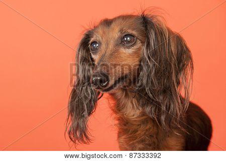 Long haired dachshund on orange background
