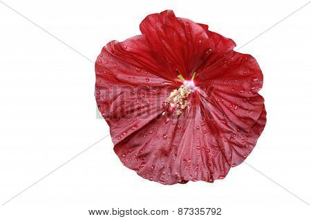 Close-up Of  Isolated  Hibiscus Moscheutos