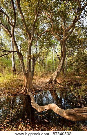 Old trees in the forest with dirty water