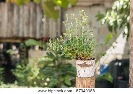 Stevia Plant In Old White Pot.
