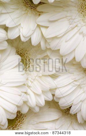 White Gerbera Background