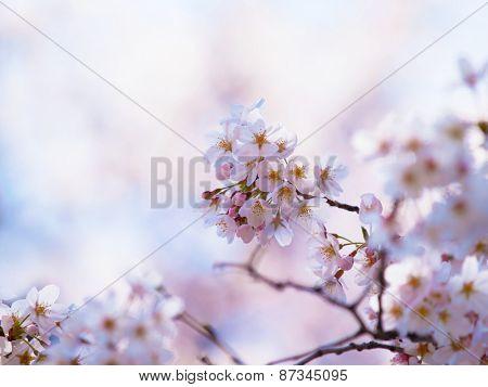 CHerry blossom under warm spring light.