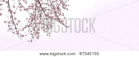Full bloom cherry blossom branches isolated on white with slight pink gradation. Yoshino cherry (someiyoshino)